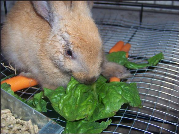 ארנב טבעוני